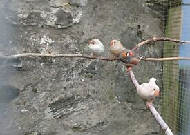 Mixed colour Zebra finches