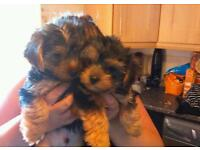 ADORABLE YORKIE PUPS.. READY NOW