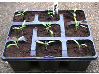 Tomato – Alicante – Tray of 9 seedlings £1.00