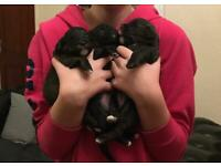 Jackapoo puppies - all now reserved