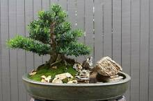 Bonsai Sale of Private Collection Alderley Brisbane North West Preview