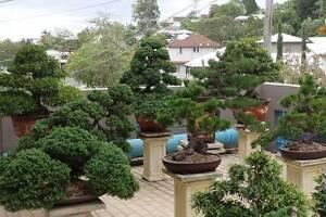 Bonsai Sale of Private Collection Alderley Brisbane North West Preview