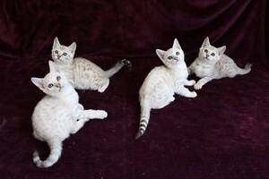 Bengal Kittens - Snow Spotted with Pedigree Papers Penrith Penrith Area Preview