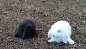 Baby mini lop rabbits Llandilo Penrith Area Preview