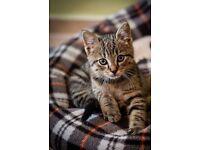 Tabby Kittens for sale £100 each