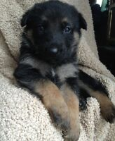 Pure German Shepherd Puppies Ready to go!