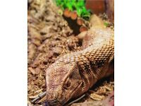 Savannah/Bosc monitor