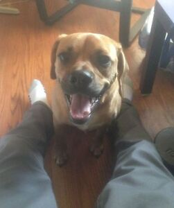 Loving half Pug/Beagle looking for NEW FAMILY