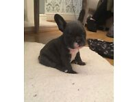STUNNING BLUE FRENCH BULLDOG PUPPIES FOR SALE