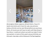 Birmingham Roller pigeon good birds call 07568600354