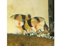 Clown loach tropical Community fish