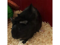 I have 2 male guinea pigs to be re-homed