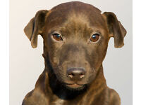 Patterdale Terrier (smooth coat)