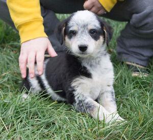 Blue Heeler x Border Collie Puppies