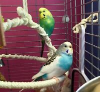 PAIR OF BUDGIES & LARGE CAGE