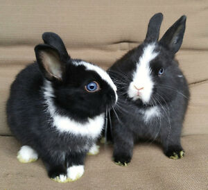 Netherland Dward baby bunnies with RARE blue and pink eyers