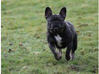 French bulldog puppies Blue and Blue fawn