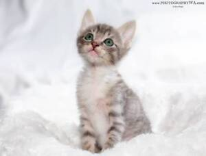 AK3248 : Bruce Flea - KITTEN to ADOPT - Expressions Of Interest