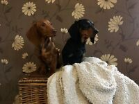 Beautiful Dachshund Puppies For Sale