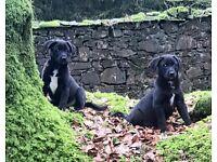 Labrador Border Collie Pups