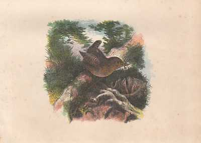Zaunkönig Troglodytes troglodytes Eurasian wren handkolorierter HOLZLSTICH 1866