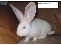Continental Giant Purebred Baby Rabbit (Male)