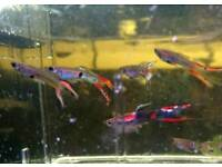Endler guppy males and females tropical fish