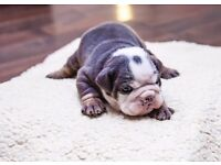 Pure British Bulldog Puppies Chunky KC Reg