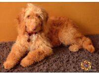 Two Beautiful Cockapoo Puppies - 1 Boy and 1 Girl available