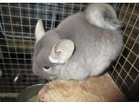 Friendly Chinchillas looking for a new home
