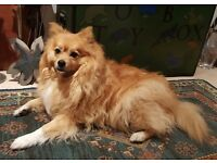 Beautiful Female German Spitz (Mittel)