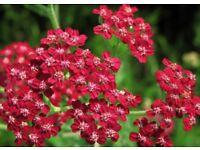 achillea Cerise Queen cottage garden favourite plant