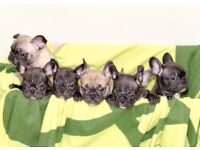 French Bulldog puppies, Pedigree certified, ready to go