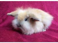 Baby Mini lion lop purebred