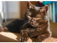 Smoky black British Shorthair boy cat 14 months old