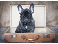 Handsome KC Registered FRENCH BULLDOG! Only one boy left! Ready to go now!