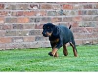 Awaiting a litter of Health tested Doberman pups