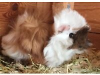 Long haired guinee pigs