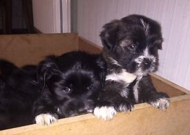 Beautiful K.C. Registered Tibetan Terrier pups, 8 weeks old, 1 Male and 1 Female available