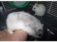 Russian Hamsters with cage
