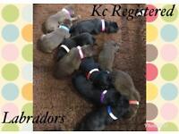 Beautiful kc Labrador puppies