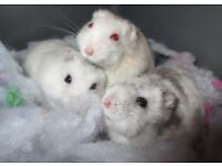 3 Friendly russian hamsters with cage