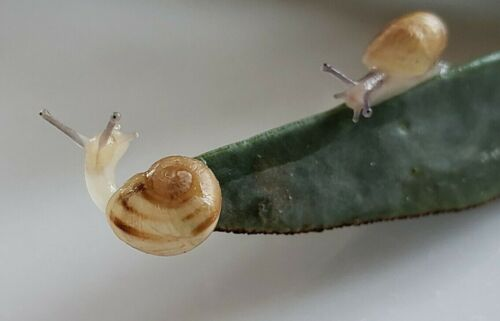 Two (2) BABY LIVE LAND OR GARDEN SNAILS