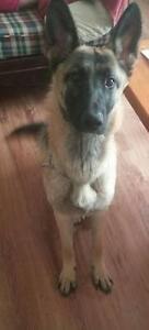 "Young Female Dog - German Shepherd Dog: ""Tiny"""