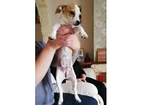4 1/2 month Chihuahua Cross jack Russell