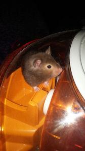 Hamster tout équipée
