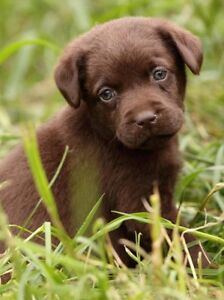 Wanted - chocolate labrador retriever puppy