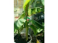 Banana Plants (Musa Basjoo)