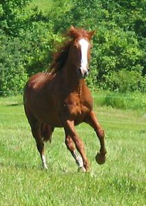 Well Broke 15 Hand QUARTER HORSE x TWH GELDING Great on Trails!