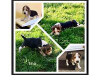 Beagle pups top quality for sale vcc&chipp